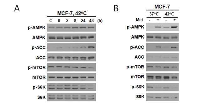 Response of Breast Cancer Cells and Cancer Stem Cells to Metformin and Hyperthermia Alone or Combined